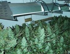 Cat de verde e industria marijuanei