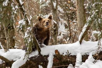 Ce trebuie sa faci cand te intalnesti cu ursul in padure. 10 actiuni vitale recomandate de un respectat silvicultor roman