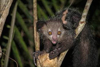 Cea mai ciudata dintre primate tocmai a devenit si mai bizara. Ce-au descoperit oamenii de stiinta