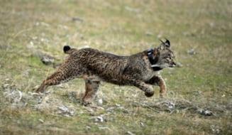 Cea mai rara felina din lume dispare