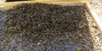 Cea mai slaba productie de miere din 1946 incoace; dezastru la stuparitul stationar
