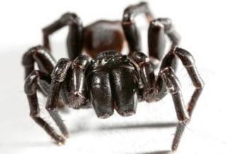Cei mai periculosi si otravitori paianjeni din lume (Video)