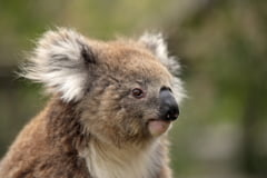 Cei mai simpatici pasageri ai unui avion: Ursii koala nu inteleg ce li se intampla (Foto)