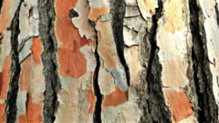 Cel mai batran copac din Europa are 1.230 de ani si mai are cateva zeci de ani de trait