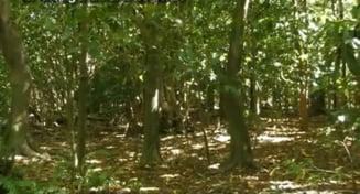 Cel mai ciudat arbore: Atrage pasarile si le omoara fara mila. De ce? Pentru ca poate!