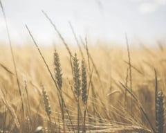 Cel mai mare furnizor de grau din lume a interzis exportul de cereale. Pericolele deciziei radicale de la Moscova: Scumpiri, foamete si revolte