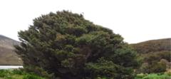 Cel mai singur copac din lume creste intr-o zona in care nici nu ar avea ce sa caute. Va ramane vesnic un copil (Video)