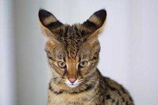 Cele mai bizare 10 rase de pisici (Galerie foto)