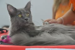 Cele mai frumoase pisici din lume vin la Bucuresti