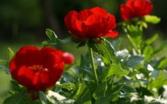 Cele mai frumoase plante protejate de lege in Romania. Frumusetea rara a crinului de padure