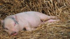 Cercetatorii de la Harvard au modificat genetic porcii, pentru ca organele lor sa fie compatibile la om