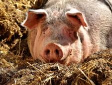 Chiar daca si-au facut gard la granita cu Romania, pesta porcina a ajuns si la bulgari