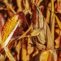 China cumpara cantitati uriase de porumb. Navele asteapta si o luna sa descarce marfa