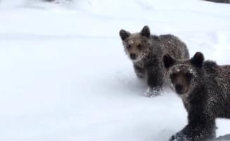 """Cinci lucruri pe care sa le faci atunci cand te intalnesti cu ursul: """"Sa rezisti sa nu fugi!"""""""