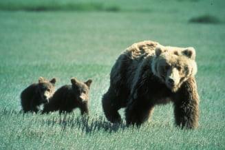 Cinci turisti din Bucuresti, fugariti de o ursoaica pe un traseu din Muntii Bucegi