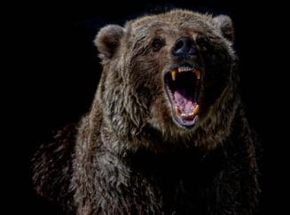 Ciobani atacați de urs la o stână aflată pe raza județului Harghita. Una dintre victime, în stare gravă UPDATE
