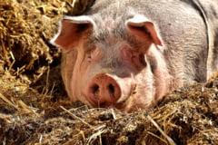 Ciolos, despre pesta porcina: Nu primesc lectii de la nimeni