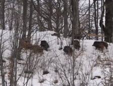 Clipul zilei: O turma de mistreti cauta hrana prin zapada, intr-o padure din Romania