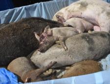 Comisia Europeana avertizeaza ca pesta porcina s-ar putea extinde in toata Romania. Vezi pe harta cat de grav este deja