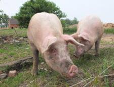 Comisia Europeana cere Romaniei masuri exceptionale si implementate corect pentru a controla pesta pocina