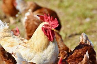 Companii mari din piata de carne de pasare, investigate pentru comportament anticoncurential