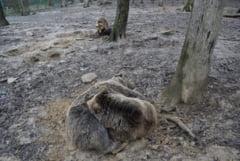"""Comportamentul ursilor de la Zoo Targu Mures indica faptul ca primavara e aproape: """"In 90% din cazuri au prezis corect vremea"""""""