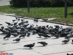 Concurs de ingeniozitate la Timisoara: Cine scapa orasul de ciori si porumbei primeste un premiu