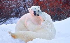 """Confruntarea titanilor! Doi ursi polari se lupta pentru teritoriu: """"Imaginile sunt ireale"""" (Galerie foto)"""