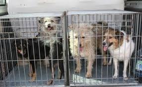 Constanta: 76 de caini au fost eutanasiati cu clesti de fier