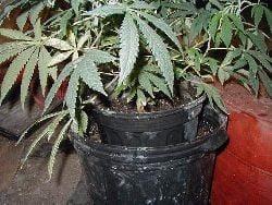Constanta: Un profesor american avea plantatie de canabis in casa