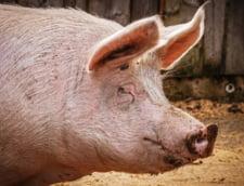 Continua uciderea porcilor pe masura ce noi focare de pesta porcina sunt depistate