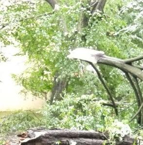 Copac prabusit in Parcul Carol din Bucuresti: doi raniti