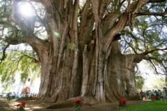 Copacul cu cel mai gros trunchi din lume (Galerie foto)