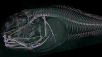 Creaturi care-i intriga pe cercetatori, descoperite in strafundurile Pacificului. Daca ar urca mai la suprafata, pur si simplu s-ar topi (Video)