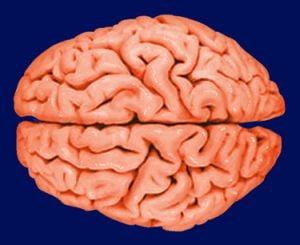 Creierul mare nu te face mai inteligent