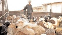 Crescatorii de animale din Dambovita, in disperare