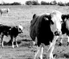 Crescatorii de animale vor fi invitati de APIA sa-si completeze cererea unica!