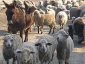 Crescatorii de oi si capre pot solicita credite in contul subventiei pentru anul 2014
