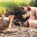 Cresterea porcilor in exploatatii in aer liber ar putea fi interzisa pana la eradicarea pestei porcine africane