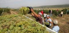 Criza de personal in viticultura. In ce oras din Prahova se importa forta de munca din Moldova