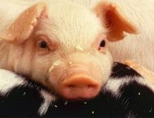 Criza pestei porcine: Fosta sefa a Directiei Sanitar-Veterinare Galati dadea contracte unei firme conduse chiar de sotul ei
