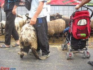 Cu cat se vinde carnea de miel in tara, dupa ce multi fermieri romani au vandut tot ce aveau catre tarile arabe