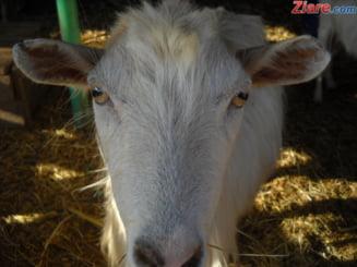 Cu oile, la Bucuresti: Un cioban are stana in cartierul Giulesti de jumatate de secol
