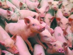 Cu peste jumatate din focarele de la nivel national, Tulcea ramane in top la pesta porcina africana