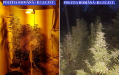 Cultivau cannabis in zona orasului Bocsa