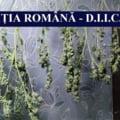 Cultură importantă de cannabis, descoperită la Cernavodă. Un bărbat a fost reţinut VIDEO