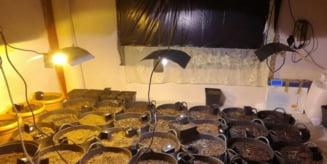 Cultura de canabis descoperita la locuinta unui urmarit international din Mures!