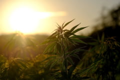 Cultura de cannabis la un politist acasa, descoperita intamplator. Agentul de la Rutiera Arad a fost arestat