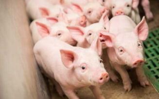 Cum a ajuns cea mai mare ferma de porci din Galati sa functioneze fara autorizatie. Amenda uriasa pe care a primit-o