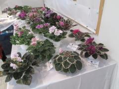 Cum arata peste 100 de soiuri de violete? Sunt expuse la Gradina Botanica pana duminica (Galerie foto)